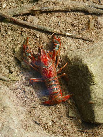 crayfish 6